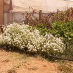 שתילי פרחים אורגניים