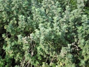 זרעים של זעטר