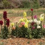 שתילי פרחים אורגנים