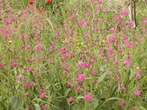 שתילי פרחי בר