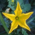 פרח זכרי של קישוא