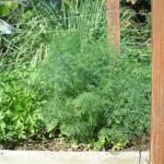 זרעים של שמיר