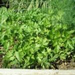 שתילי ירקות סלרי