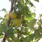 עצי פרי אורגניים