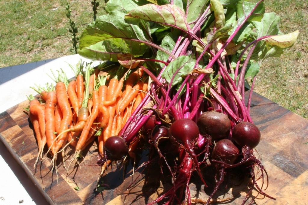זרעי ירקות חורף שורשים וקטניות