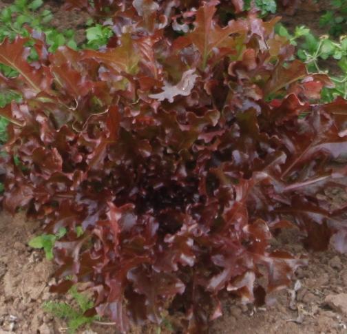 זרעי חסה לולה רוסה