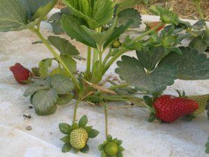 תות שדה מניב